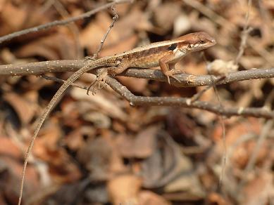 Echse auf einem Zweig - auf einem meiner Spaziergänge